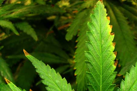 Indoor Humidity Control for Cannabis Plants Grow Weed Easy