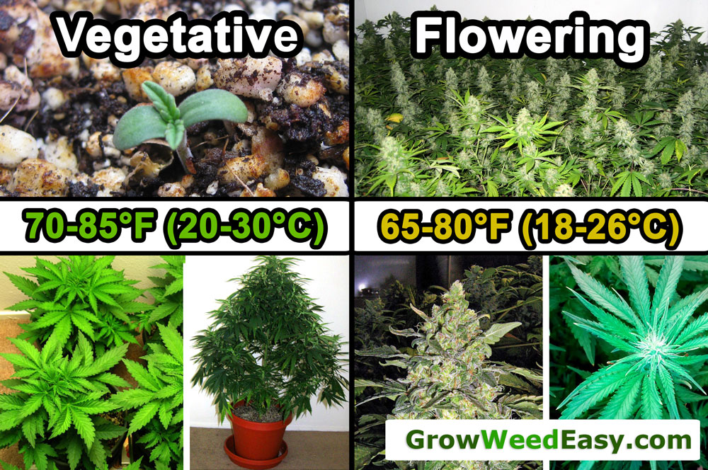 How to Grow Stronger Smelling Cannabis Grow Weed Easy