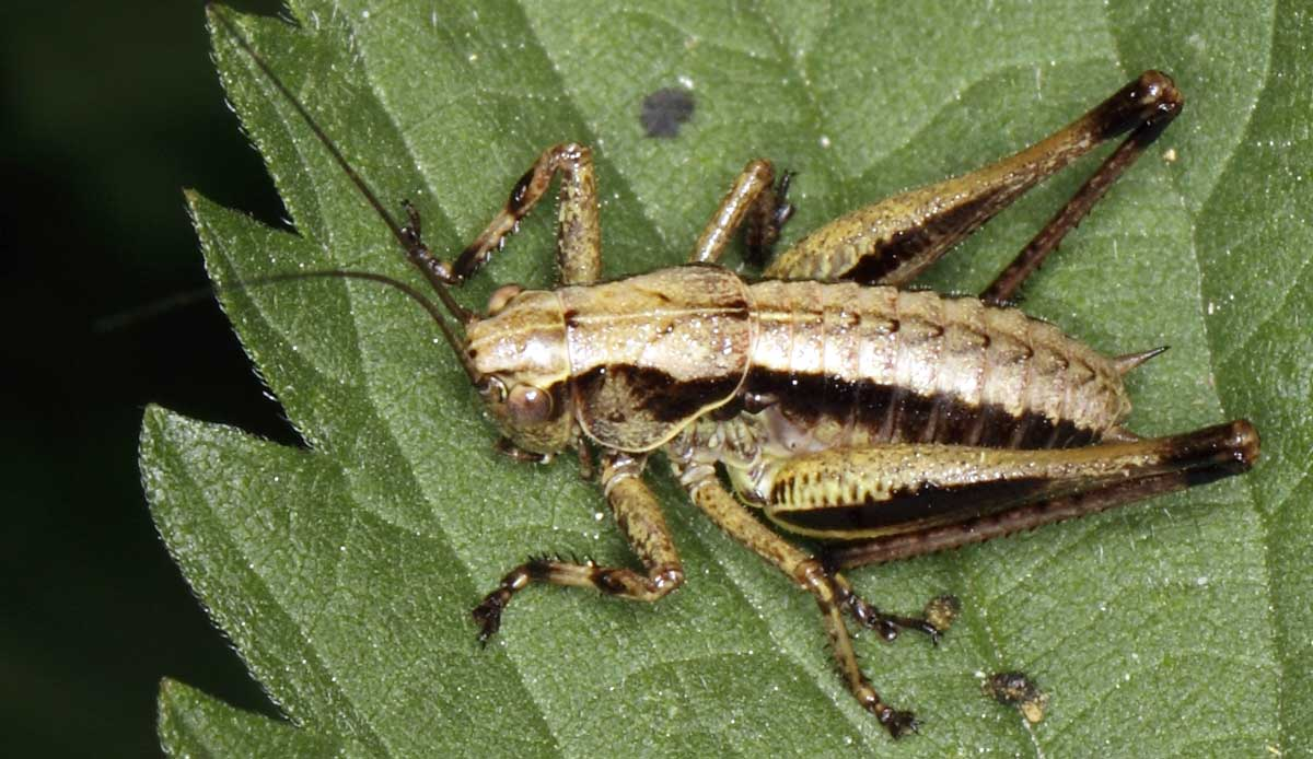 Fullsize Of What Do Crickets Eat