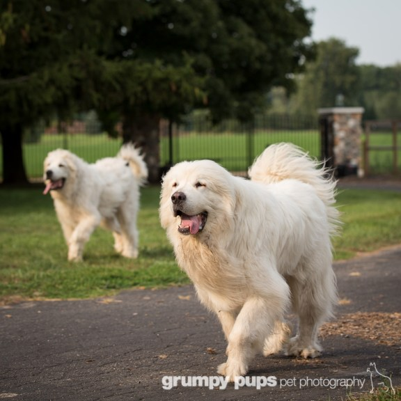 great pyrenes at farm entrance, grumpy pups pet photography