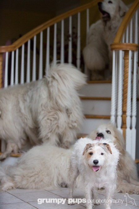 great pyrenees and jack russell terrier in doorway, grumpy pups pet photography