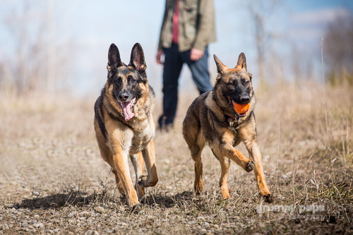 german shepherd dog, grumpy pups pet photography