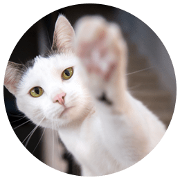 white and grey cat raising paw at camera