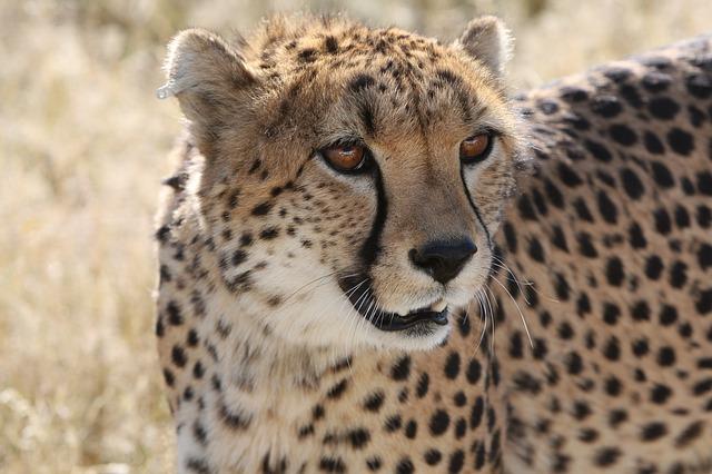 Cheetah Wallpaper Hd Im 225 Genes De Guepardos 187 Guepardopedia