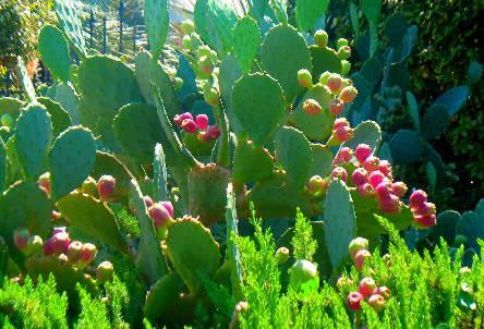 Cultivo Y Cuidados Del Nopal