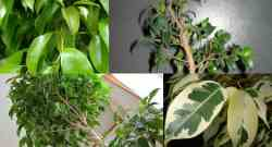 Ficus benjamina: come coltivare