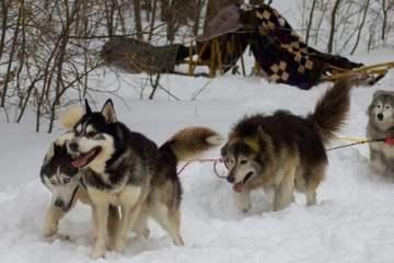 chiens de traineau neige
