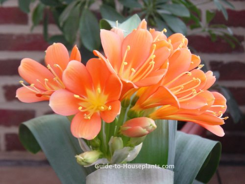 Orange Fall Wallpaper Kaffir Lily Clivia Miniata Care Tips And Pictures
