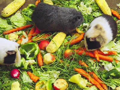 Guinea Pig Vegetable and Fruit Requirements