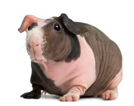 Skinny Pig - The Hairless Guinea Pig - Guinea Pig Hub