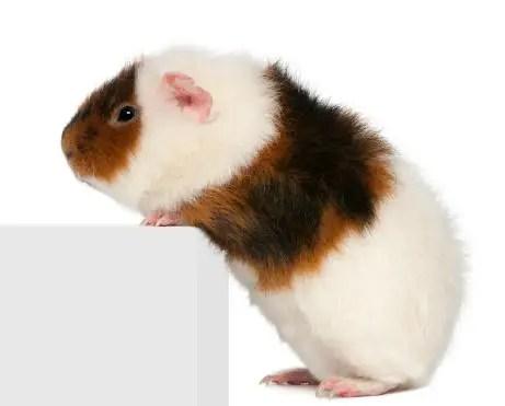 The 10 Types of Guinea Pig Breeds Guinea Pig Hub