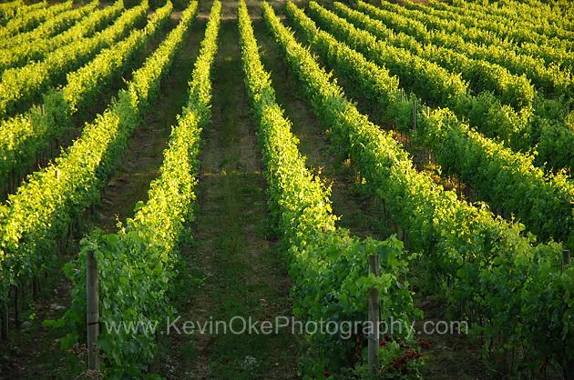 Grape vines at the Saturna Island Family Vineyard, Saturna Island, British Columbia