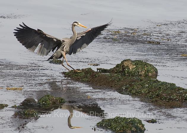 Great Blue Heron landing (Ardea herodias), Gulf Islands, British Columbia, CanadaGreat Blue Heron, Gulf Islands, British Columbia, Canada