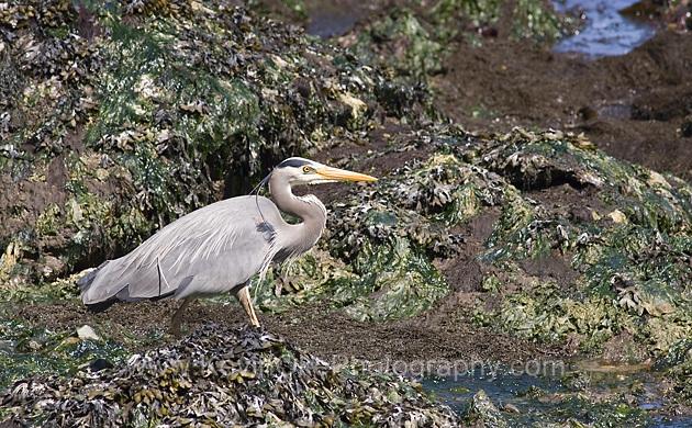 Great Blue Heron (Ardea herodias) off North Pender Island, Gulf Islands, British Columbia, CanadaGreat Blue Heron, Gulf Islands, British Columbia, Canada