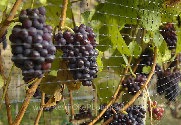 The fall grape harvest at Morning Bay Vineyard & Estate Winery. North Pender Island, British Columbia, Canada.