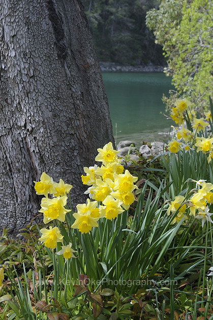 Spring daffodils on Wallace Island, Gulf Islands, British Columbia, CanadaWallace Island, Gulf Islands, British Columbia, Canada