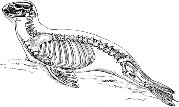 seal skeleton diagram