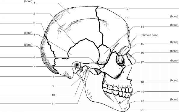 lateral of skull blank diagram