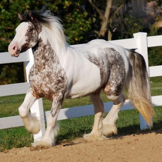 Farm Girl Wallpaper Pumpkin Westmoreland Gypsy Vanner Horses For Sale
