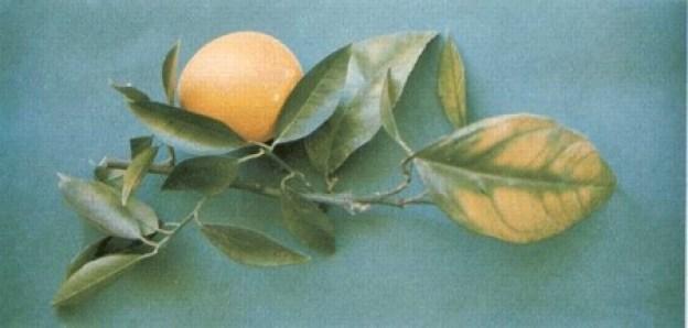 Deficiencia de magnesio en citricos
