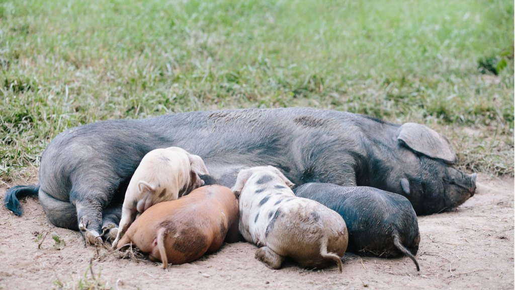 Sow nursing piglets in the pasture