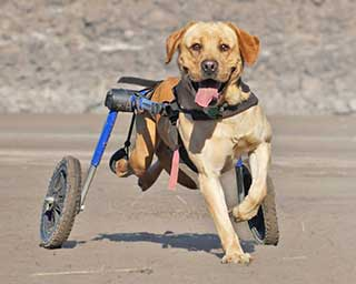 Walkin39 Wheels Dog Wheelchair Wheelchairs For Dogs Of