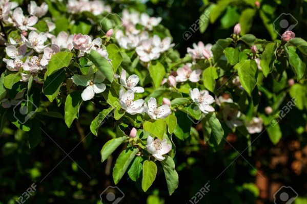 The quince (Cydonia oblonga), , a small deciduous tree that bears a pome fruit