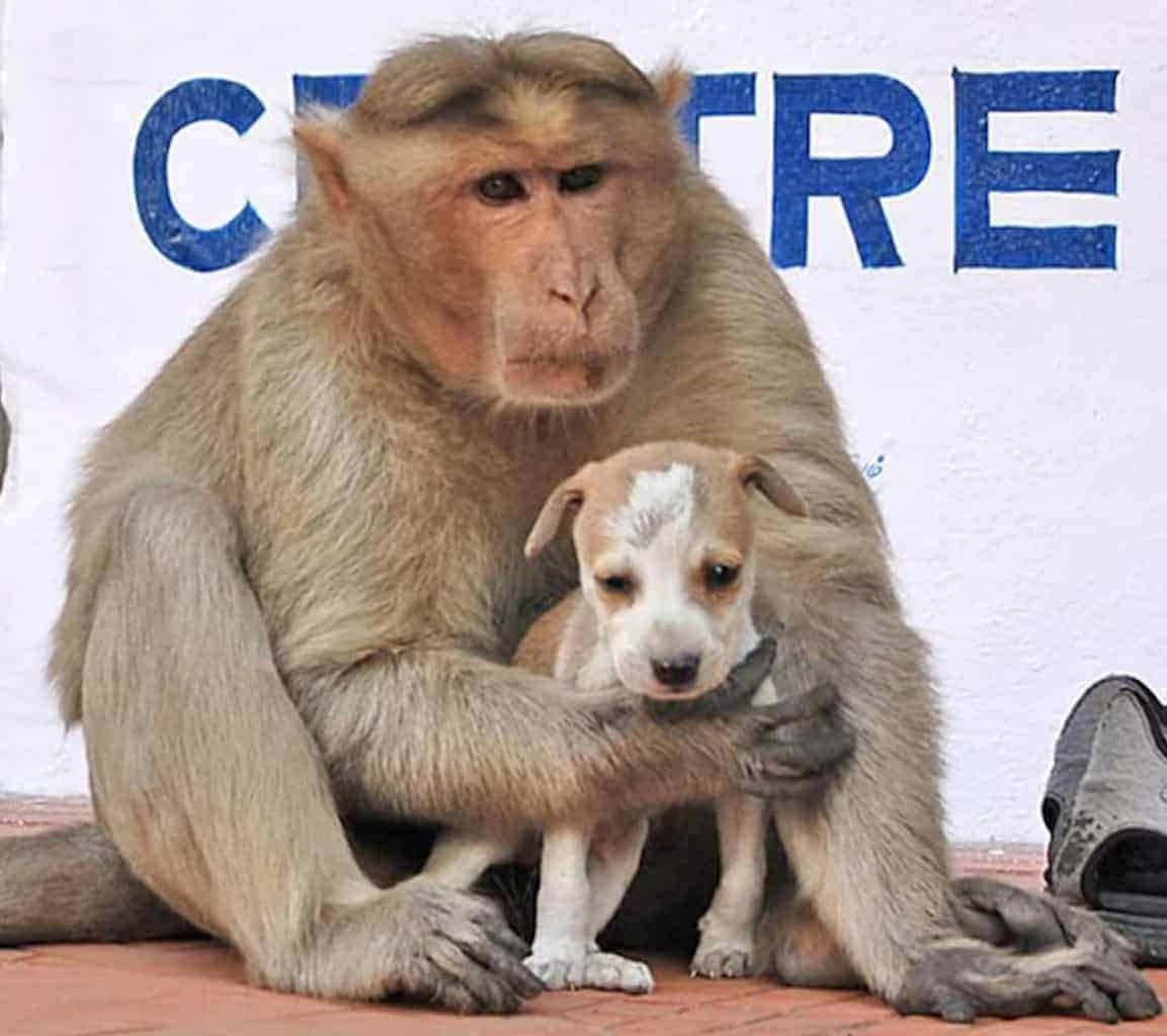 Splendent His Own Kind Monkey Looks After Puppy That Was Abandoned On Street A Baby Clutching Puppy To His Big Monkey He Carries Pup Around Withhim Just Like He Would bark post Monkey Puppy Baby