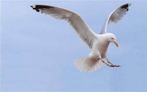 seagulls-008