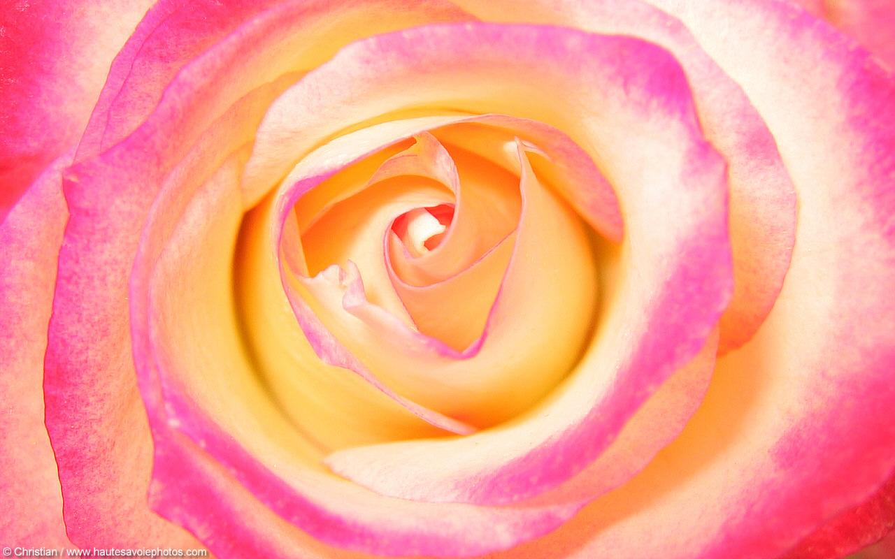Animes Wallpaper Fond D 233 Cran 1280x800 Au Coeur D Une Belle Rose Pour Le
