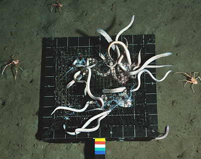 Hagfish and crustacean amphipods scavenging jellyfish baits in the deep sea. (credit: A. Sweetman, C. Smith, D. Jones)