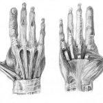 http://arvalis.deviantart.com/art/Muscles-of-the-Hand-89698613