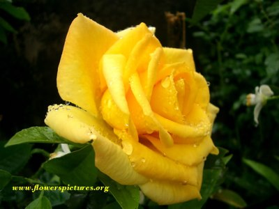 Flower Meaning Yellow Rose 2 Widescreen Wallpaper - HdFlowerWallpaper.com