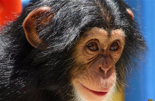 Thoughts Quotes Wallpaper Animal Chimpanzee Baby Image Hd Wallpapers