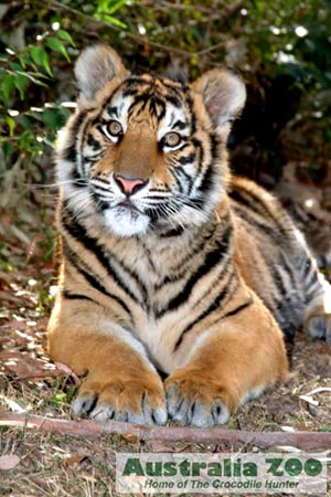 Jungle Wallpaper With Animals The Bengal Or Indian Tiger Beautiful Big Wild Cat