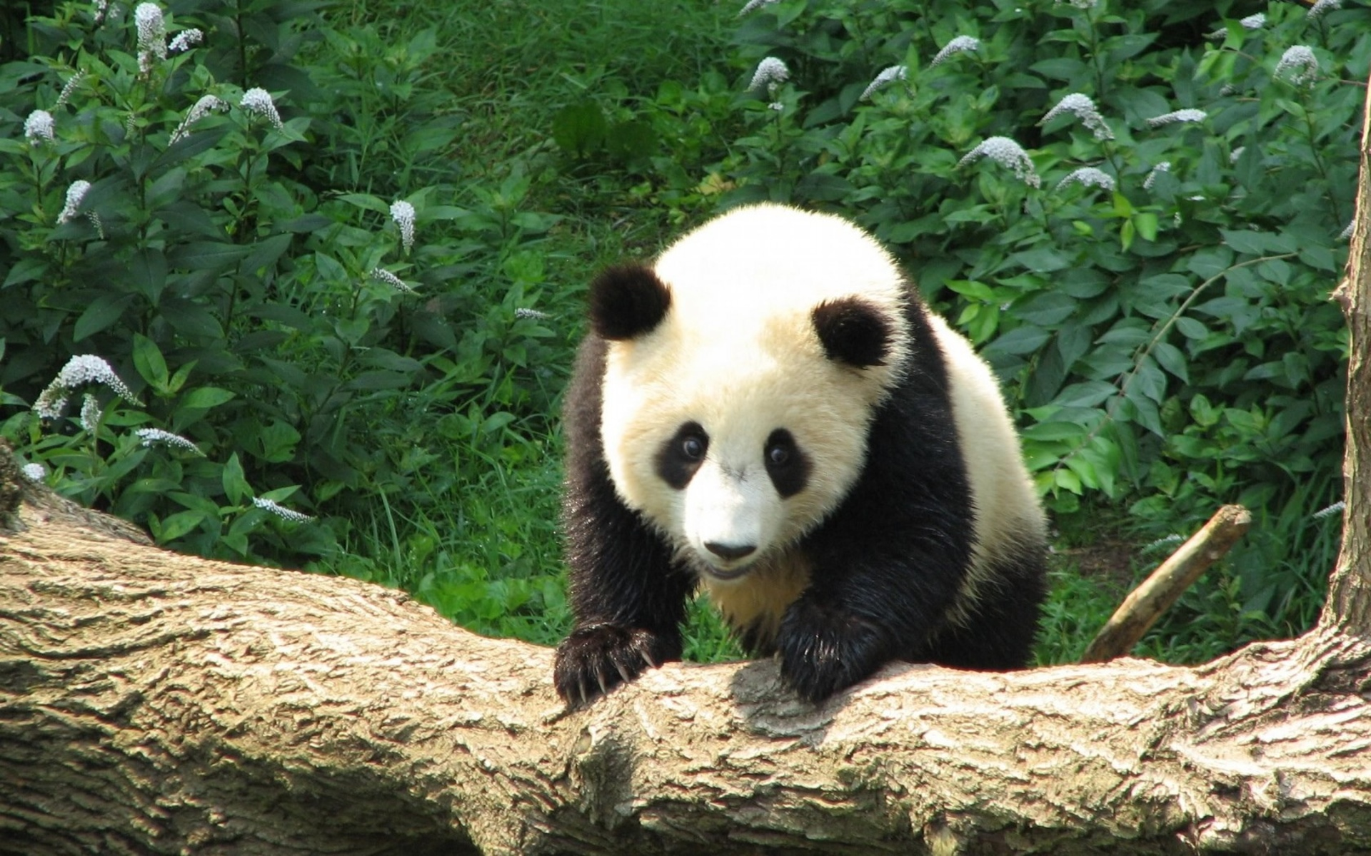 Animal Planet Wallpaper Hd Panda Wallpapers Pictures Images