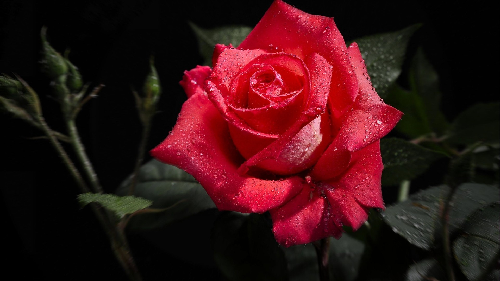 Hd wallpaper rose - Hd Wallpaper Rose Red Rose Wallpaper Download