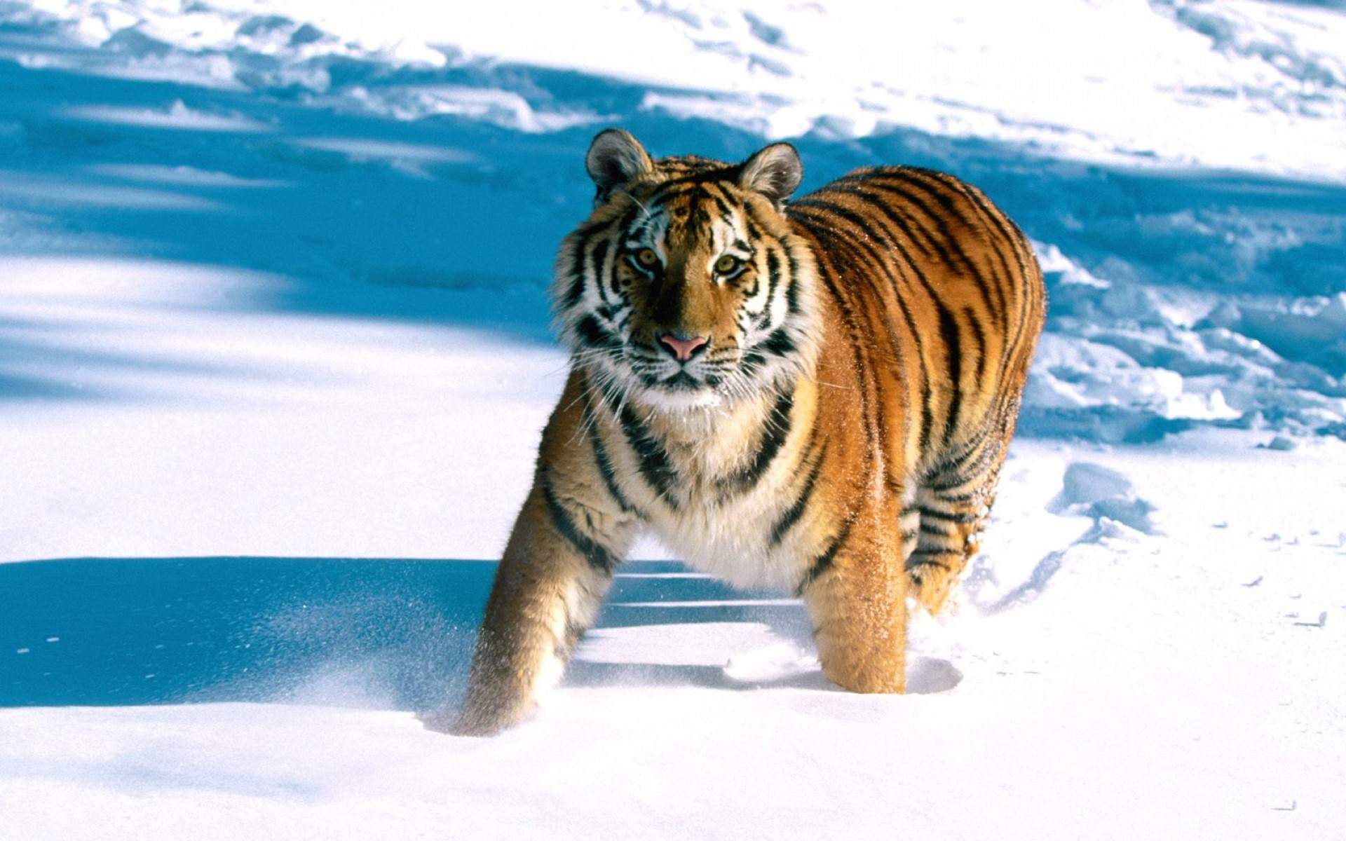 Bengal Cat Hd Wallpaper Siberian Tiger Wallpapers Pictures Images
