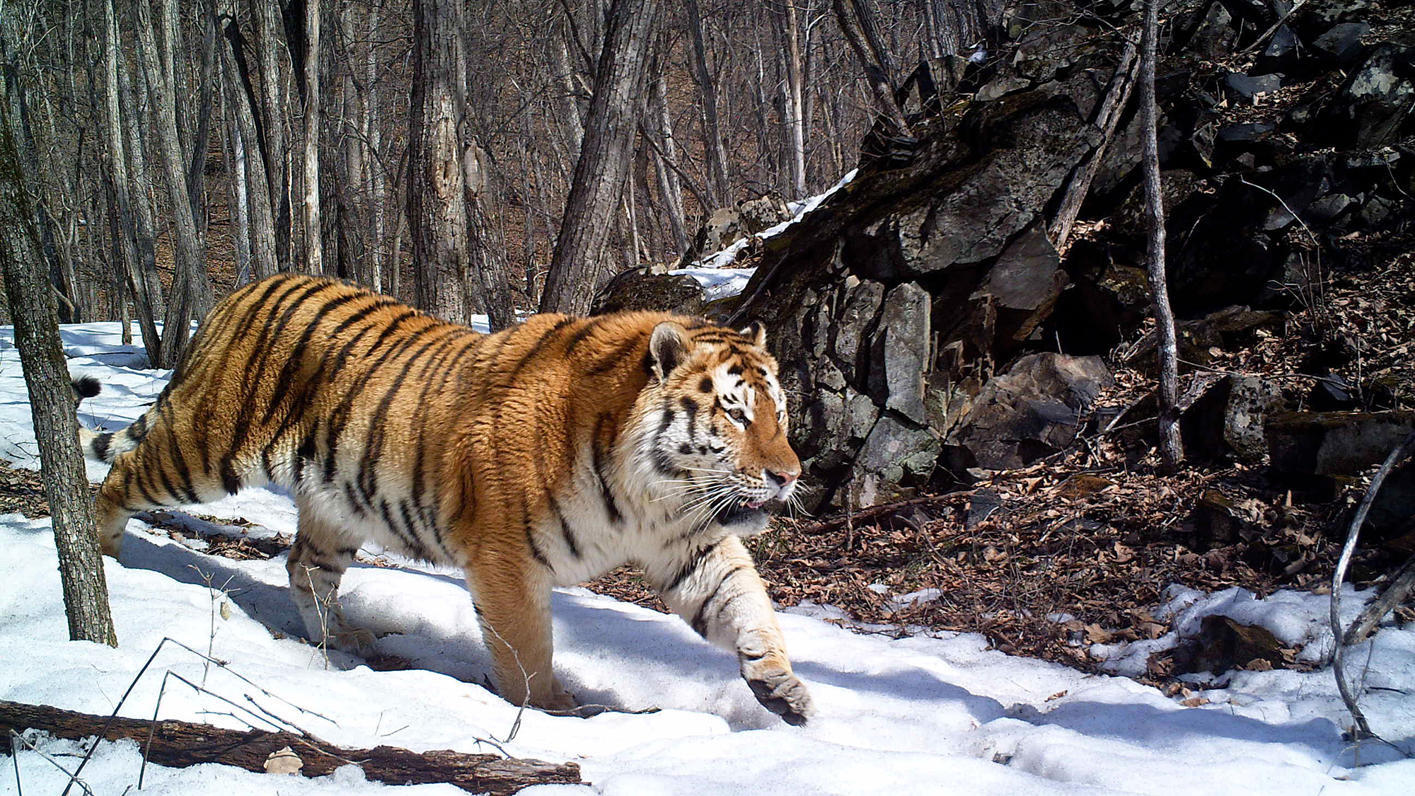 Snow Falling Wallpaper For Ipad Siberian Tiger Wallpapers Pictures Images