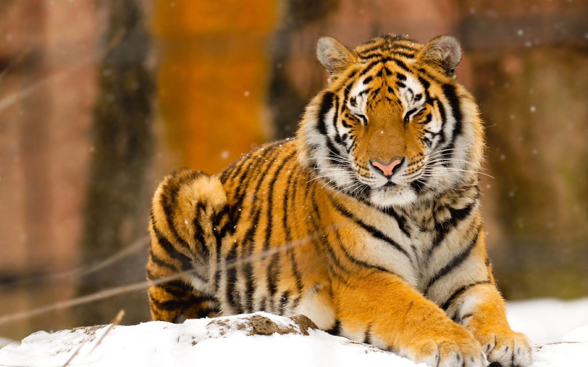 Free Fall Wallpaper For Iphone 5 Siberian Tiger Wallpapers Pictures Images
