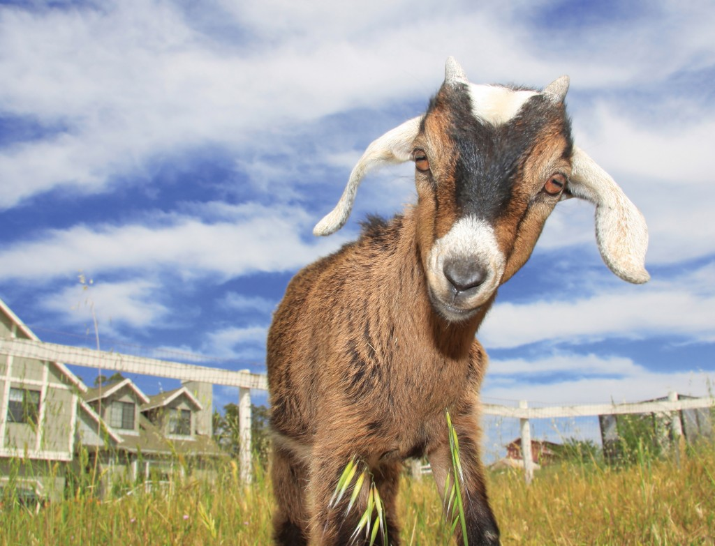 Pc Wallpaper 3d Love Cute Goats Wallpapers Pictures Images