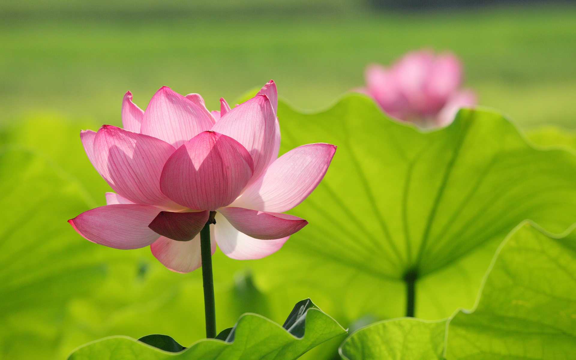 Summer Android Wallpaper Quotes Lotus Flower Wallpapers Pictures Images