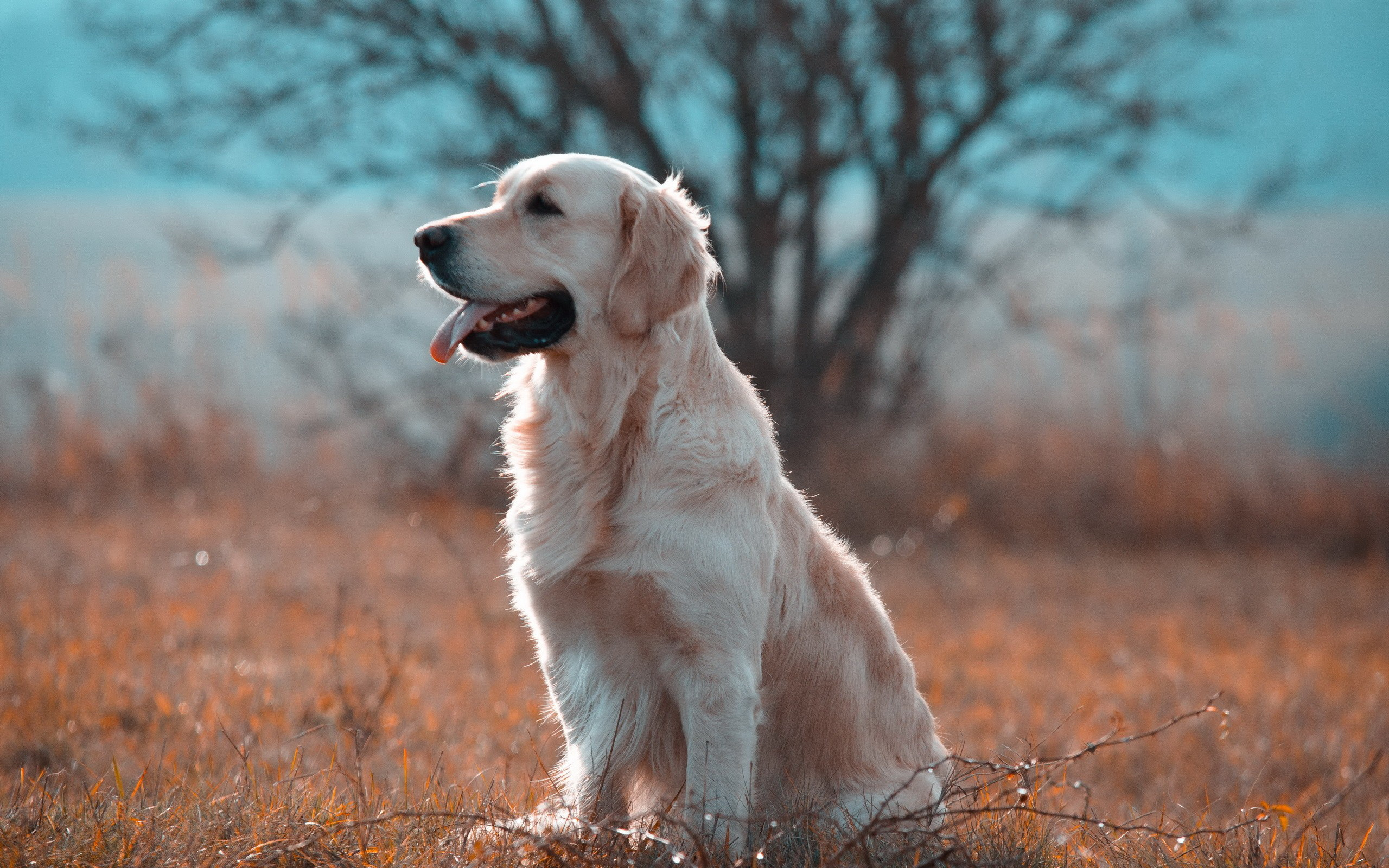 Cute Pet Animals Wallpapers Golden Retriever Wallpapers Pictures Images