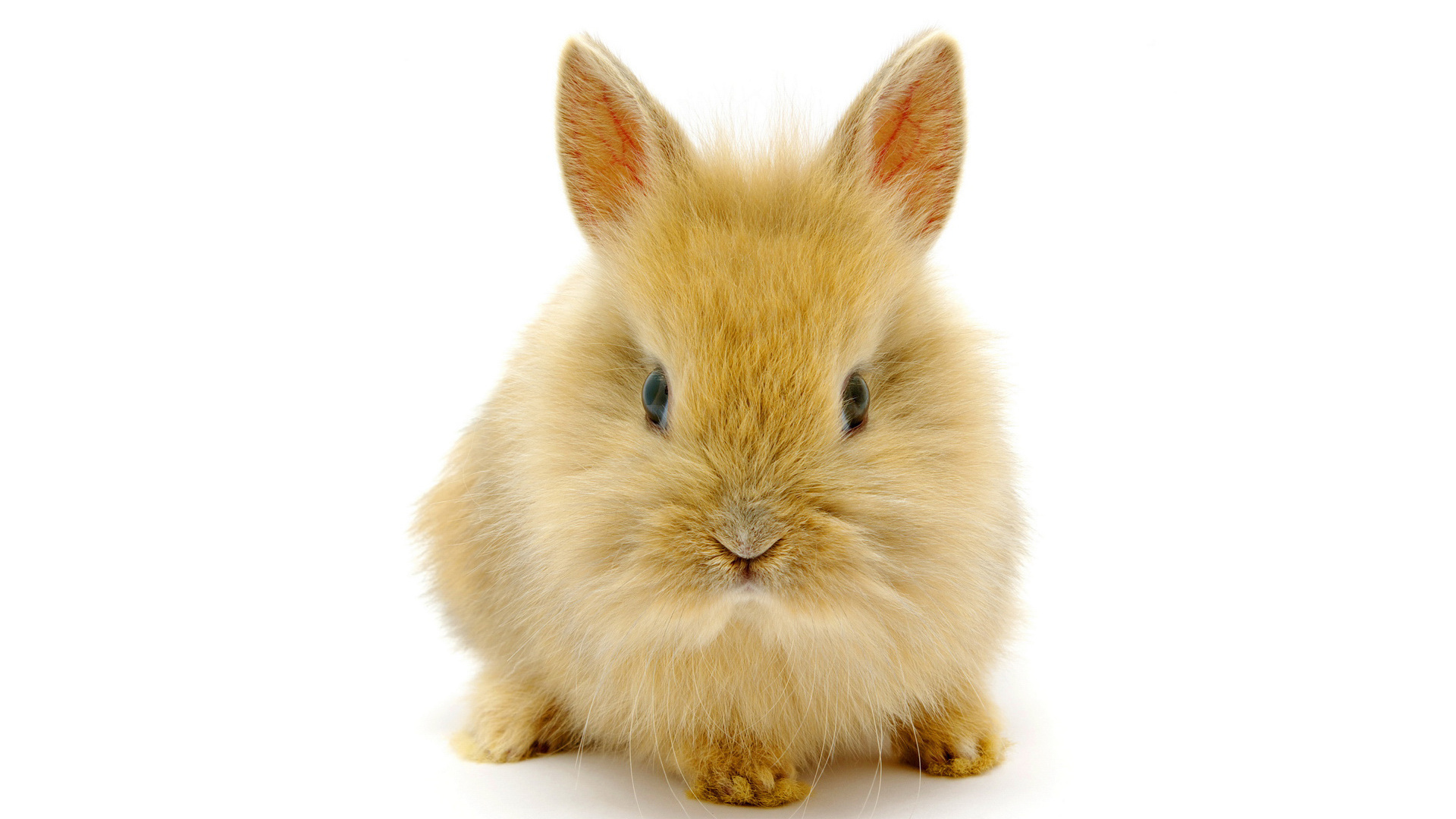 Cute White Baby Rabbits Wallpapers Rabbit Wallpapers Pictures Images