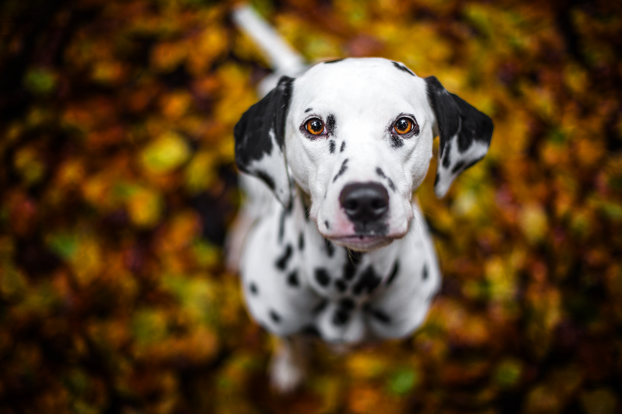 Cute Husky Wallpaper Dalmatian Wallpapers Pictures Images