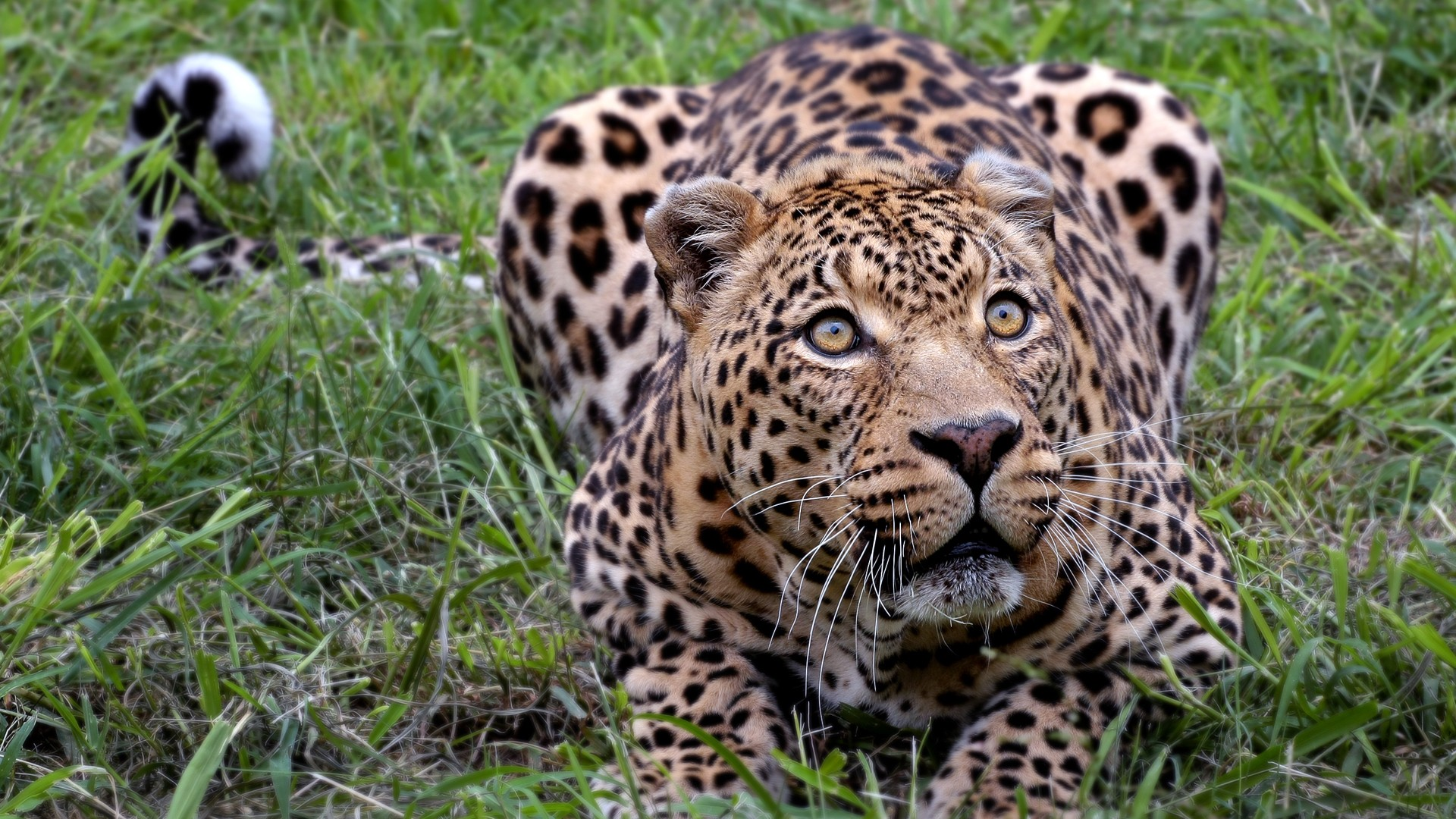 Desktop Wallpapers 3d Graphics Amazon Forest African Leopard Wallpapers Hd Wallpapers Id 11348