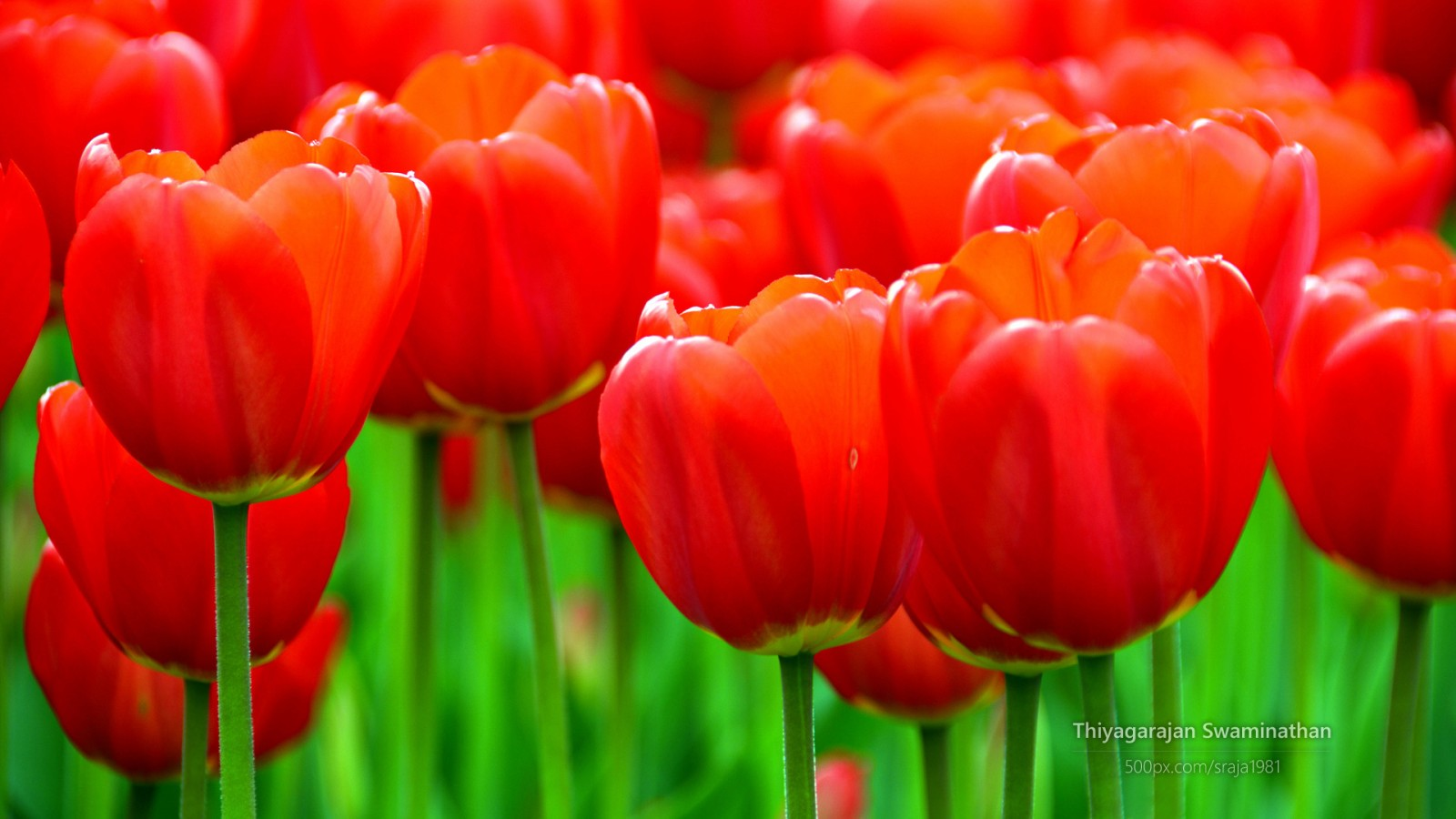 Computer 3d Wallpaper Download Albany Tulip Festival Wallpapers Hd Wallpapers Id 14066