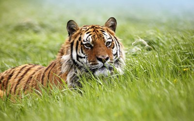 Amazing Siberian Tiger Wallpapers | HD Wallpapers | ID #9773