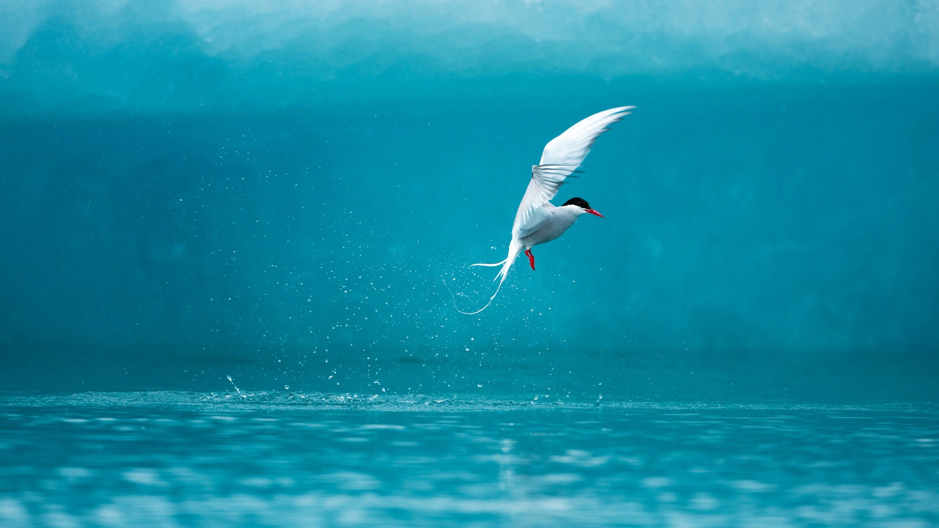 3d High Definition Wallpapers Arctic Tern Wallpapers Hd Wallpapers Id 10401