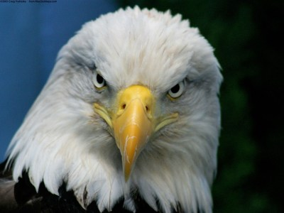 Bald Eagle Wallpapers   HD Wallpapers   ID #4913